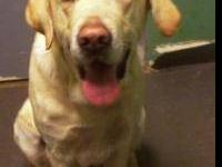 Labrador Retriever - Kenton - Large - Adult - Male -