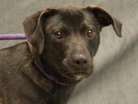Labrador Retriever - Kenya - Large - Adult - Female -
