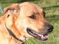 Labrador Retriever - Keyante - Large - Adult - Female -