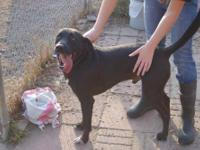 Labrador Retriever - Kirby - Large - Young - Male -