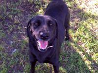 Labrador Retriever - Kirra - Medium - Young - Female -