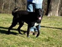 Labrador Retriever - Klamath - Large - Adult - Male -