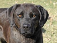 Labrador Retriever - Koda - Large - Adult - Female -