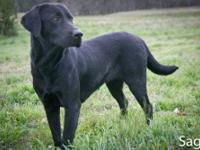 Labrador Retriever - Lady - Large - Young - Female -