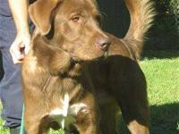 Labrador Retriever - Landon - Large - Adult - Male -