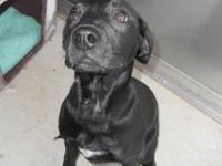 Labrador Retriever - Leah - Medium - Young - Female -