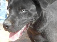 Labrador Retriever - Lexi - Medium - Young - Female -