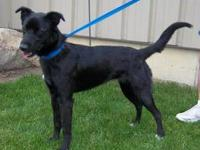 Labrador Retriever - Lexie - Large - Young - Female -