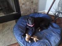 Labrador Retriever - Lilly - Large - Baby - Female -