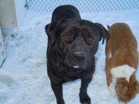 Labrador Retriever - Lincoln - Medium - Young - Male -