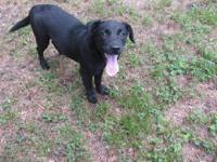 Labrador Retriever - Lizzie - Medium - Young - Female -