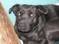 Labrador Retriever - Lois - Large - Adult - Female -