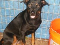 Labrador Retriever - Lola - Large - Adult - Female -