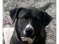 Labrador Retriever - Lola - Large - Adult - Female -