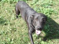 Labrador Retriever - Lora - Large - Young - Female -
