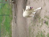 Labrador Retriever - Louise - Large - Young - Female -
