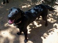 Labrador Retriever - Lucky - Large - Young - Female -