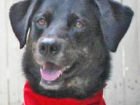 Labrador Retriever - Lucy - Large - Adult - Female -