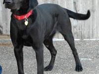Labrador Retriever - Lucy - Large - Adult - Female -