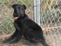 Labrador Retriever - Lucy - Medium - Adult - Female -