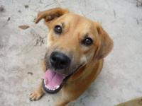 Labrador Retriever - Luke - Medium - Young - Male -