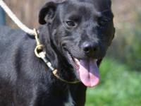 Labrador Retriever - Lulu - Medium - Young - Female -