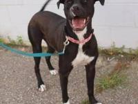 Labrador Retriever - Mable - Large - Adult - Female -