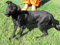 Labrador Retriever - Maddie - Large - Adult - Female -