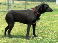 Labrador Retriever - Marcy - 38435 - Medium - Adult -