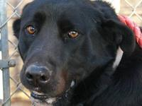 Labrador Retriever - Marley - Large - Adult - Male -