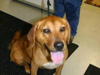 Labrador Retriever - Martha - Large - Adult - Female -