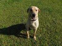 Labrador Retriever - Marty - Large - Young - Male -