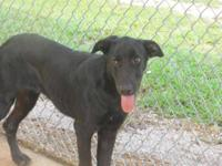 Labrador Retriever - Mason - Large - Young - Male -