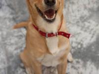 Labrador Retriever - Maverick - Large - Young - Female