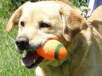 Labrador Retriever - Max - Large - Young - Male - Dog