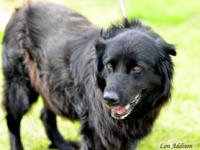 Labrador Retriever - Max - Medium - Senior - Male -