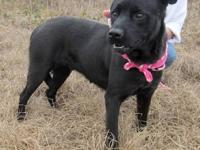 Labrador Retriever - Mckayla - Medium - Adult - Female