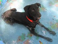 Labrador Retriever - -opie - Medium - Adult - Male -