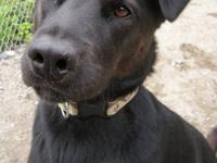 Labrador Retriever - Mercury - Medium - Adult - Male -
