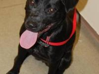 Labrador Retriever - Midnight - Medium - Young - Female