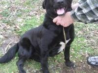 Labrador Retriever - Miles - Large - Young - Male -
