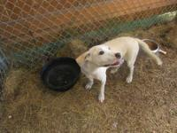 Labrador Retriever - Mindy - Medium - Baby - Female -