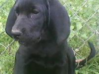 Labrador Retriever - Miranda - Large - Young - Female -