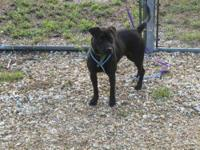 Labrador Retriever - Mishe - Medium - Young - Female -