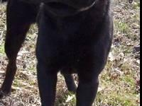 Labrador Retriever - Misty - Medium - Adult - Female -