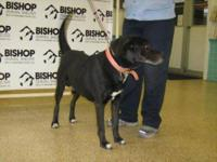 Labrador Retriever - Mitchell - Large - Adult - Male -