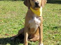 Labrador Retriever - Mitchell - Medium - Young - Male -
