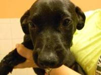 Labrador Retriever - Mitchell - Small - Young - Male -