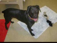 Labrador Retriever - Molly - Medium - Adult - Female -