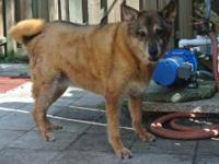 Labrador Retriever - Molly - Medium - Adult - Female -